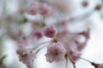 Prunus(irfanview).jpg