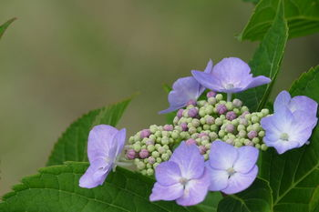 紫陽花-2.jpg