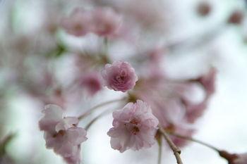 Prunus(rawtherapee)-1.jpg
