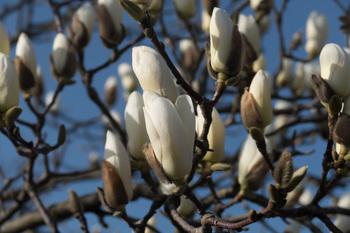 _モクレン(Magnolia heptapeta)_09.jpg